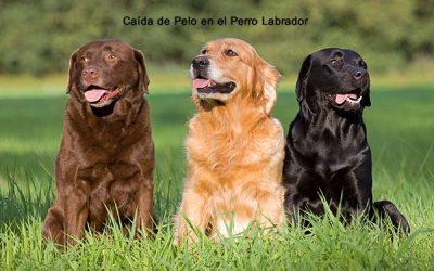 Caída de Pelo en el Perro Labrador
